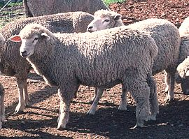 Corriedale Sheep